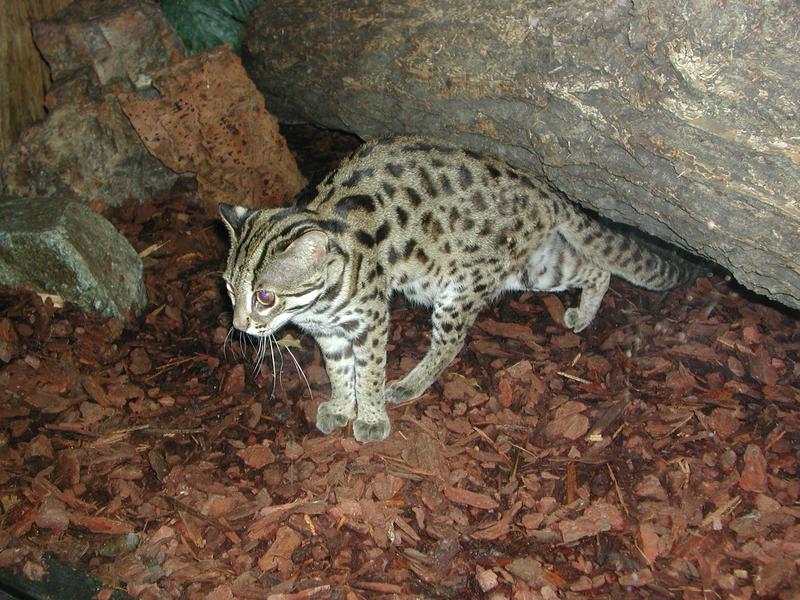 Бенгальскую кошку часто можно увидеть в зоопарках, где она к тому же